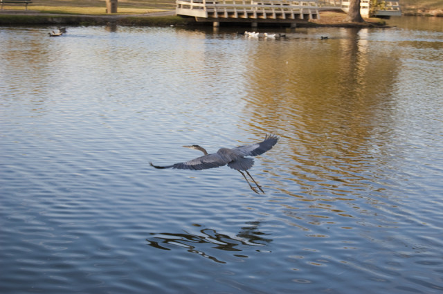 Blu Heron in Flight